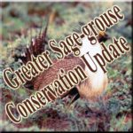 sage-grouse-3