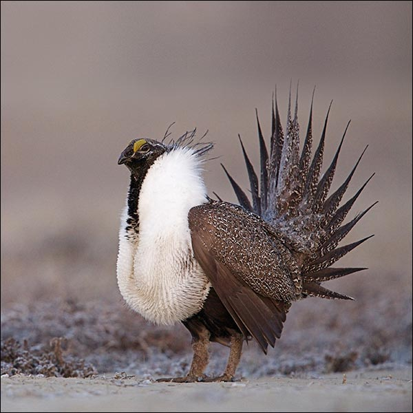 NATIONAL – Ask Forest Service to Amend Greater Sage-Grouse Land Use Plans